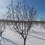 """Сад фундука асоціації """"Золотий горішок"""" в стані зимового спокою"""