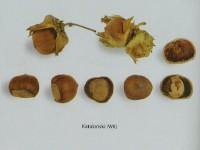 Сорт Каталонський - дворічні сертифіковані (в наявності сортові та товарні сертифікати) саджанці фундука